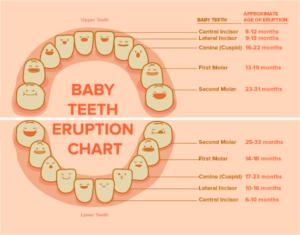 Baby Teeth Eruption Chart